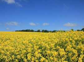 Harvest News: 3.6. t/ha yield for HOLL OSR crop in Cambs image