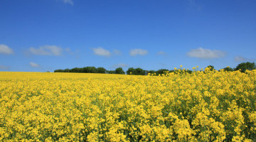 Harvest News: 3.6. t/ha yield for HOLL OSR crop in Cambs