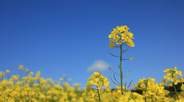 UK rapeseed prices ease back due to stronger Pound